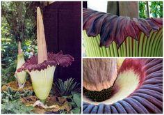 Conheça a rara flor gigante que cheira a cadáver (com video)