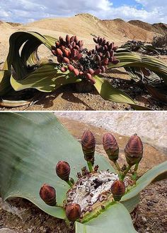 Namibia's Welwitschia Mirabilis consists of only two leaves and a sturdy stem with roots. It can grow almost 2 meters high, with a lifespan of 400-1500 years. It can also live up to five years with no rain.