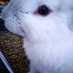 #countryhomefarm #thewhiterabbit #continentalgiant #sweetbaby