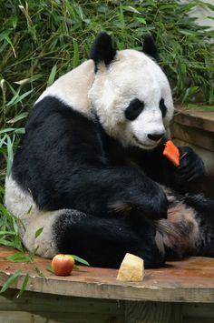 Giant Panda 'Tian Tian' at Edinburgh zoo in Scotland. Brown Panda, Red Panda, Zoo Animals, Animals And Pets, Cute Animals, Fur Babies, Panda Babies, Panda Love, Cute Creatures
