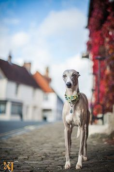 Gorgeous whippet on a sidewalk Greyhound Breed, Whippet Dog, Greyhounds, Animal Pictures, Cute Pictures, Lurcher, Cute Little Animals, Italian Greyhound, Animal Photography