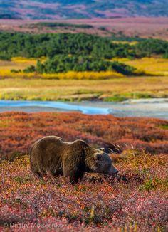 Bear in Kamchatka - Siberia, Russia Fjord, Love Bear, Nature Animals, Wild Animals, Tier Fotos, Mundo Animal, Brown Bear, Amazing Nature, Beautiful World