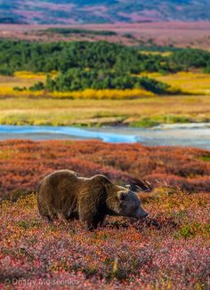 Bear watching in Kamchatka, Russia (this would be a travel dream come true)