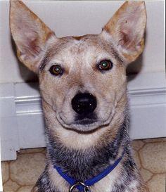 Sheba Australian Cattle Dog   Hebron CT