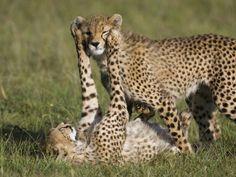 Cheetah (Acinonyx Jubatus) 7 to 9 Month Old Cubs Playing, Masai Mara Nat'l Reserve, Kenya Photographic Print by Suzi Eszterhas/Minden Pictures at AllPosters.com