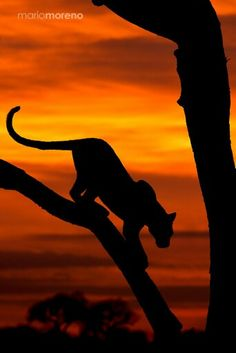 A Lioness at Sunset Going Down a Tree. (by Yaşamaya Değer Hobiler).