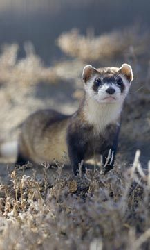 North America's Most Endangered Mammal Making Headway - Black-Footed Ferret