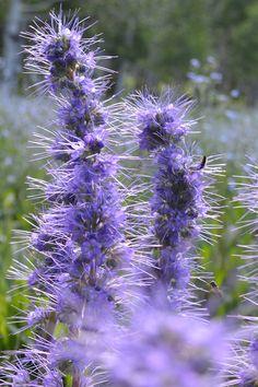 97 Best Missouri Wildflowers Images Wild Flowers