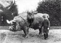Маленький свиной всадник 1930-е годы.