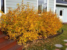 Lonicera caerulea var. kamtschatica  or Honeyberries in the fall