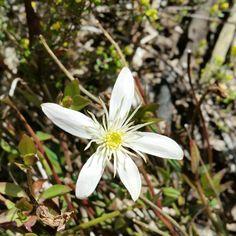 Clematis gentianoides, Tasmania