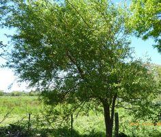 EVBJUAN--Salix alba Vitellina --NOMBRE COMUN SAUCE MIMBRE . Paraje el chaja  , brandsen Salix Alba, Plants, Planters, Plant