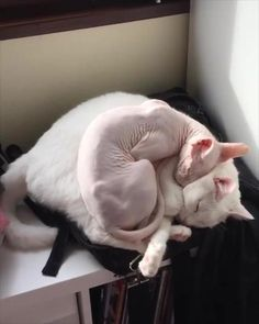 Cute sphynx cuddling cat - Hairstyles from Samantha Gato Sphinx, Sphynx Gato, Hairless Cats, Sphynx Cat Black, I Love Cats, Cute Cats, Funny Cats, Crazy Cat Lady, Crazy Cats