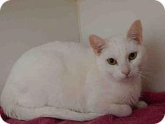 Norco, CA -URGENT Domestic Mediumhair. Meet *LUNA, a cat for adoption. Please share! http://www.adoptapet.com/pet/14930522-norco-california-cat