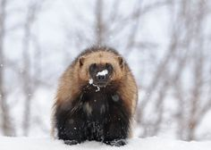 Wolverine -who will blink first ? Amur Leopard, Snow Leopard, Wolf, Mountain Lion, Siberian Tiger, Wolverines, Leopards, Nature Reserve, Brown Bear