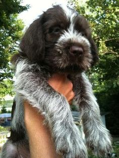 Wirehaired Pointing Griffon pups - looks just like Grendel's mixed breed pups