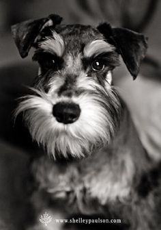 Toby by Shelley Paulson #Miniature #Schnauzer Very distinguished Gentleman!
