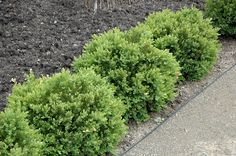 Click to view full-size photo of Green Velvet Boxwood (Buxus 'Green Velvet') at Bachman's Landscaping