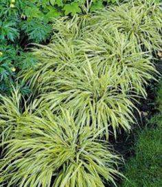 'All Gold' Japanese Forest Grass – Sheridan Nurseries