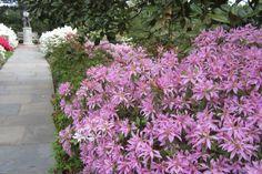 Purple Spider Azalea (Rhododendron 'Koromo Shikbu')