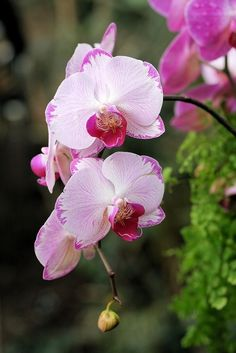 Pink and white Phalaenopsis orchid