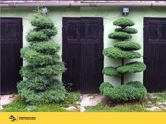 Interesting idea of cutting trees and bushes Boxwood Garden, Topiary Garden, Bonsai Garden, Home Garden Design, Garden Art, Japanese Plants, Small Water Gardens, Outdoor Topiary, Small Yard Landscaping