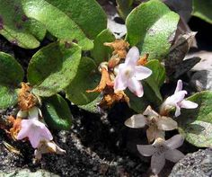 Hiker's Notebook - Trailing Arbutus - click thru to read more info and about uses