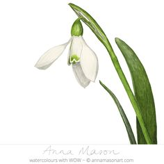 Snowdrops SOLD Watercolour on paper Painting size 15 x 17.5 cm Unframed Price £215 GBP