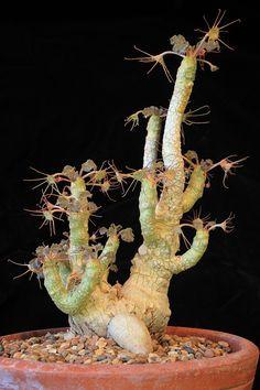 Dorstenia horwoodii rare caudex exotique Afrique Caudiciform Bonsai graines 5 Graines