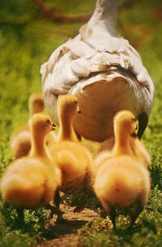 Ducklings or goslings - can't see mother to tell difference