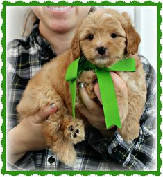 Check out our list of all upcoming Goldendoodle litters and Double Doodle litters below. Please fill out the puppy application and we will contact you. Toy Goldendoodle, Goldendoodle Miniature, Healthy Fats, Healthy Choices, Double Doodle, Extreme Diet, Labradoodles, Miniatures, Teddy Bear