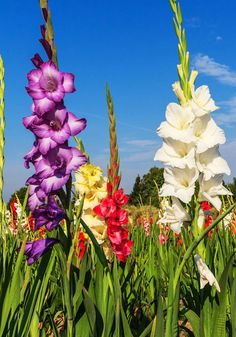 Prized for large bouquets, stately gladioli offer an enormous color range, including the most delicate pastels, bold hues, and almost unimaginable bi-colors. Get 100 bulbs shipped to your doorstep, and add the bold, beautiful stems to your garden for a striking accent in any mixed flower border.