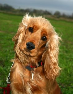 A Cocker Spaniel looks concerned as a storm approaches. Perro Cocker Spaniel, English Cocker Spaniel, Unique Female Dog Names, Matted Dog Hair, Funny Dogs, Cute Dogs, Field Spaniel, Cockerspaniel, Kittens And Puppies