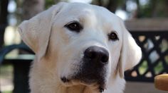 10 months Labrador Retriever, Puppies, Winter, Dogs, Animals, Labrador Retrievers, Animais, Animales, Animaux