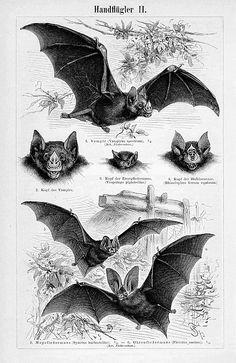 Antique Print, BATS Chart vampire bat, beautiful wall art vintage b/w engraving illustration animals Engraving Illustration, Antique Illustration, Tatou Animal, Bat Images, Scary Bat, Theme Tattoo, Art Vintage, Vampire Bat, Halloween Art