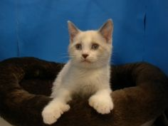 Emilio is an adoptable Ragdoll Cat in Gainesville, FL.  The best way to contact us is through email, Star32601@aol.com. We showcase our kitties at Petsmart, Ocala and at times Petsmart, Gainesville. O...