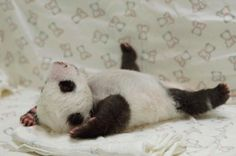 A newborn panda cub lounges on its back