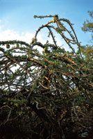 El totumo es utilizado en el tratamiento de las enfermedades repiratorias. Con sus frutos se elaboran recipientes de uso doméstico.