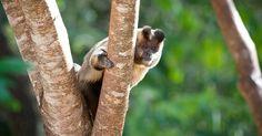 """macaco - prego"" (Cebus apella), taken in the Natural Park of the Salto do Sucuri"