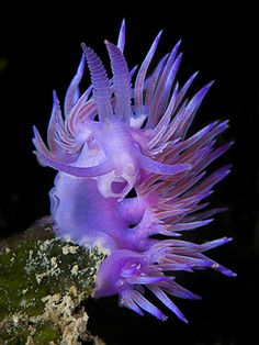 Flabellina is a genus of sea slugs, specifically aeolid nudibranchs. These animals are marine gastropod molluscs in the family Flabellinidae.