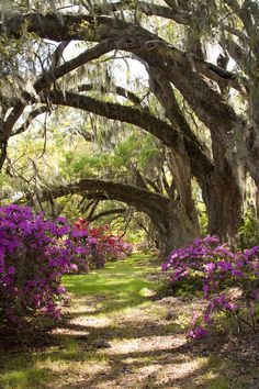 ✮ Azaleas and Live Oaks at Magnolia Plantation Gardens – Charleston, SC. I miss the BEAUTIFUL Azaleas in Charleston and the Azaleas Park in Summerville, SC. Magnolia Plantation, Dream Garden, Garden Art, Garden Beds, Terre Nature, Parks, Kew Gardens, Belleza Natural, Lush