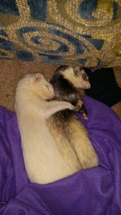 Spooning Ferrets