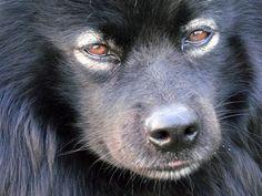 Dog - Finnish Lapphund - Frisbee on www.yummypets.com