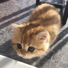 Kittens And Puppies, Cute Kittens, Little Kittens, Cats And Kittens, Baby Animals Pictures, Cute Baby Animals, Animals And Pets, Pretty Cats, Beautiful Cats