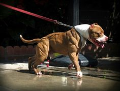 Ripped pit bull