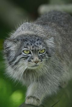 Also known as the manul, the Pallas's cat is a small wild cat native to Mongolia, Kazakhstan, India, and parts of China and Russia.