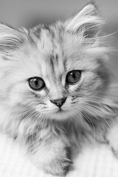 Iris 12 weeks by Camilla Larsson on Kitten Love, I Love Cats, Crazy Cats, Pretty Cats, Beautiful Cats, Animals Beautiful, Cute Baby Animals, Animals And Pets, Funny Animals
