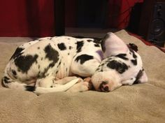 baby Harlequin Great Dane Mooshoe