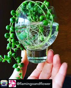 Image result for propagate string of pearls Succulent Pots, Planting Succulents, String Of Pearls, Cactus Y Suculentas, Propagation, Indoor Plants, Terrarium, Tropical, Instagram