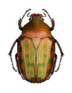 Aphanochroa pseudodincoides (Kolbe,1892) F. Scarabaeidae Size 25mm, Cameron;Bamenda
